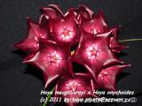 Voskovka (Hoya sp., waxplant)