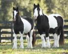 Domů zvedl cikánská vänner koní pro přijetí