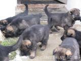 CHS NO prodá tmavě vlkošedá  štěňátka
